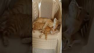 My cats (boy:Pouss) (girl:Mimi)😙😙😙
