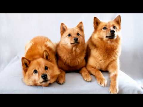 Finnish Spitz  - medium size breed