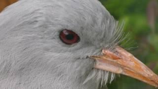 Kagu Close-up