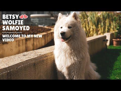 Funny Betsy Wolfie Samoyed Dog Compilation 💕