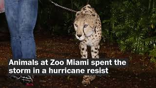 How animals remained safe during Hurricane Irma