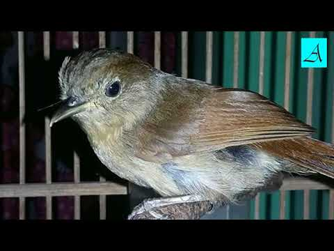 Suara Burung Flamboyan bikin flamboyan anda yang lelet dan males bunyi jadi gacor ngerol