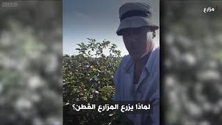 أنا الشاهد: مستقبل القطن المصري طويل التيلة