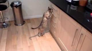 Bengal cat plastic bag thief