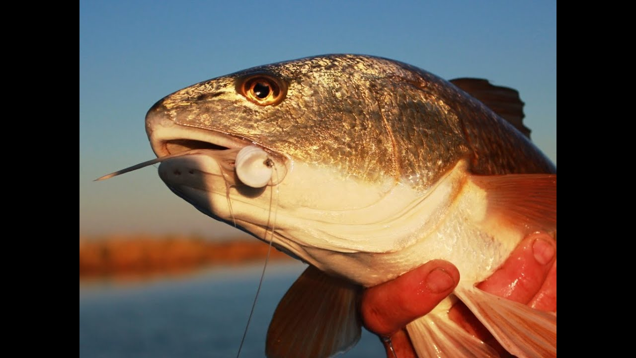 Louisiana redfish on a popper fly youtube for Louisiana redfish fly fishing