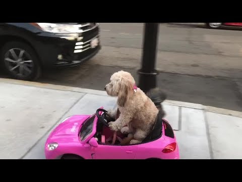 Dog rides remote control car on streets of boston