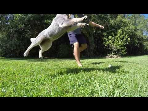 Australian Cattle Dog Playing Fetch in Super Slo-Mo by GoPro