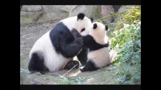 San Diego Zoo ~ 7.7.2013 ~ Bai Yun & Xiao Liwu