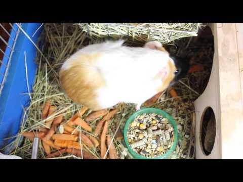 Милые морские свинки. Кабачок и Морковка.