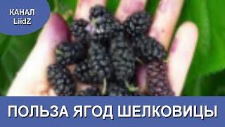 Мой фильм Полезные свойства ягод шелковицы