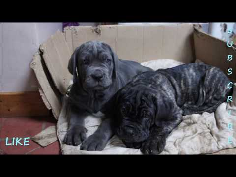 Last Morning at home - 9 Week old Neapolitan Mastiff Puppies