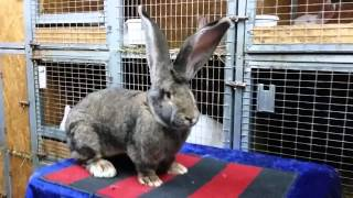 Кролики великаны породы Бельгийский великан окрас Агути