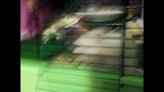 Хомячки танцуют