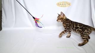 Dakota Gold, официальный питомник бенгальской кошки, бенгальский котенок, на белом фоне 4