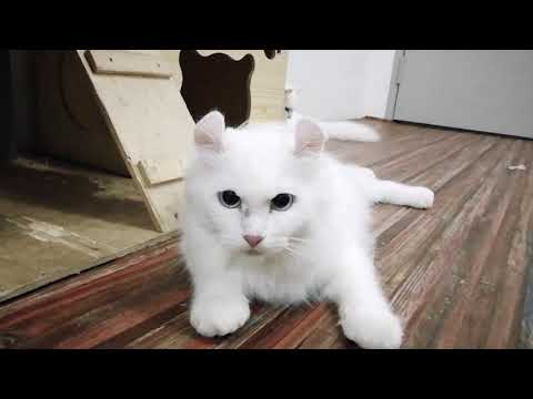 American curl solid white