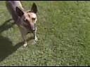Dingo in Rexburg, ID
