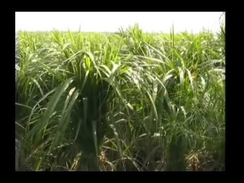 How delay in monsoon can affect Kharif crops