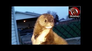 Rio the Mink Hunting Brown Rats