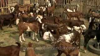 Buy goats at Asia's largest cattle fair in Bihar