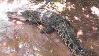 Eight-foot long crocodile captured