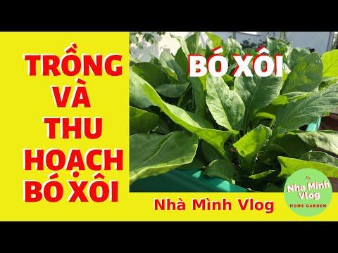 Kỹ thuật trồng rau Chân vịt - Rau Bina - Cải Bó Xôi tại nhà / @Nha Minh Vlog