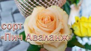 Обзор чайно-гибридных роз сорта Пич Аваланж