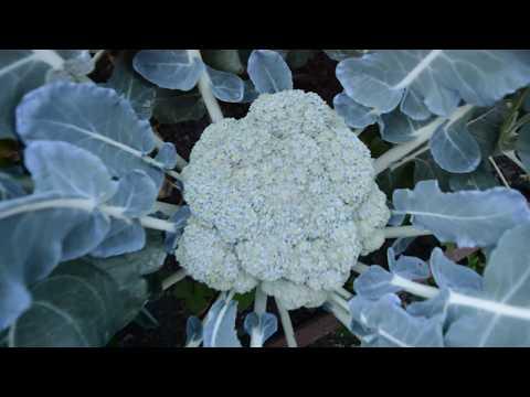 Как растет капуста брокколи видео