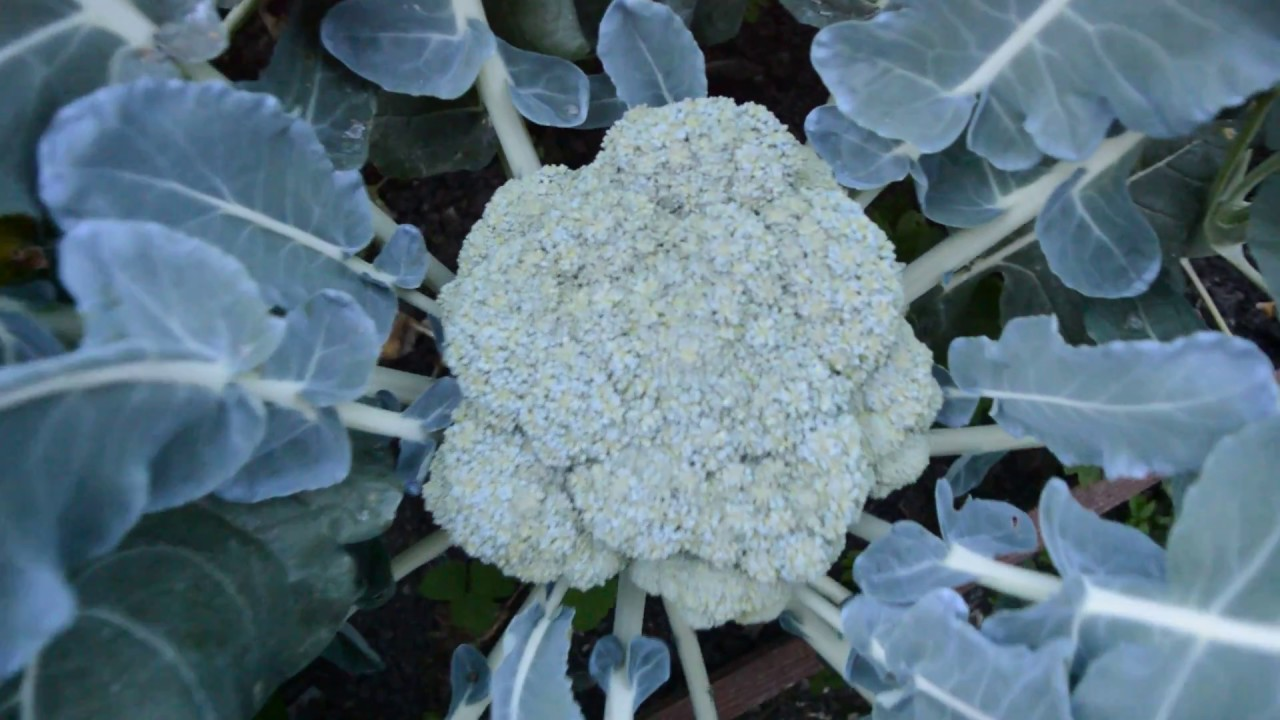 вырастить брокколи на даче