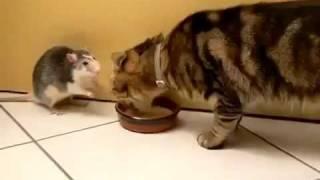 крыса и кота