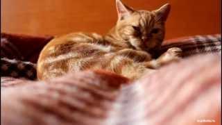 видео порода кошек скоттиш страйт