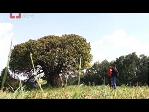 MISTERIJA: Gumasto drvo koje niko ne sme da dira