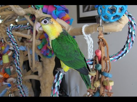 Bé Mì — 14 week old Baby White Bellied Caique
