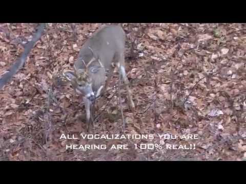 Incredible Whitetail Buck Vocalizations - The Management Advantage
