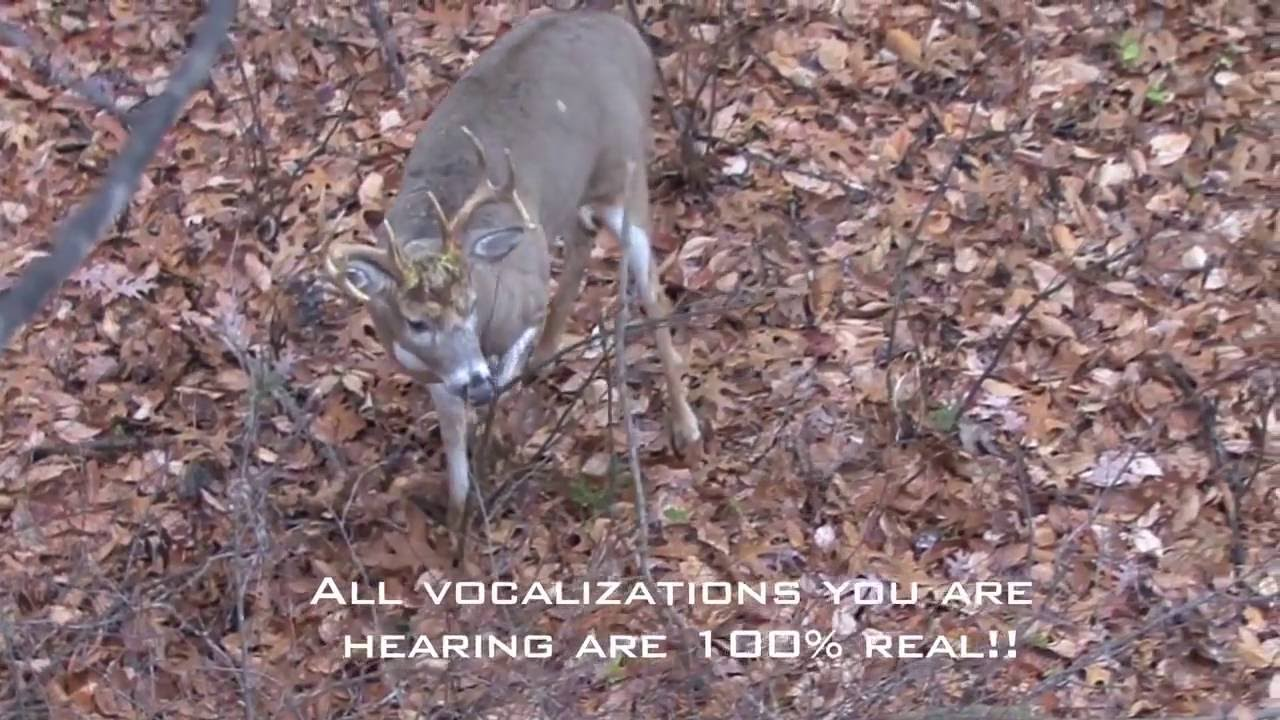 Incredible Whitetail Buck Vocalizations - The Management Advantage - YouTube