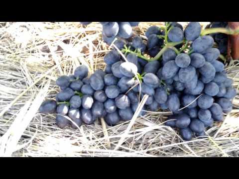 Размер гроздей винограда сорта Чарли (Антрацит) в 2016 году