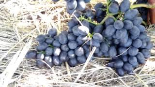 Размер гроздей винограда сорта Чарли (Антрацит) в 2016 году(Привет Друзья Виноградари! В этом видео я решил показать, какой размер имеют грозди винограда сорта Чарли..., 2016-08-26T14:20:13.000Z)