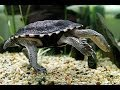 Snake-necked Turtle in Sea Life at Legoland Germany