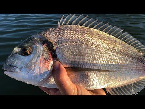 Bass And Gilthead Bream - Sea Fishing UK
