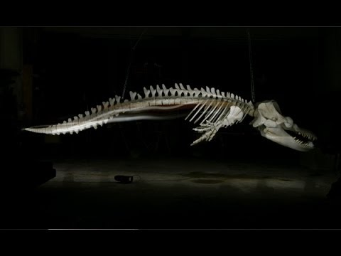Killer Whale Skeleton ...