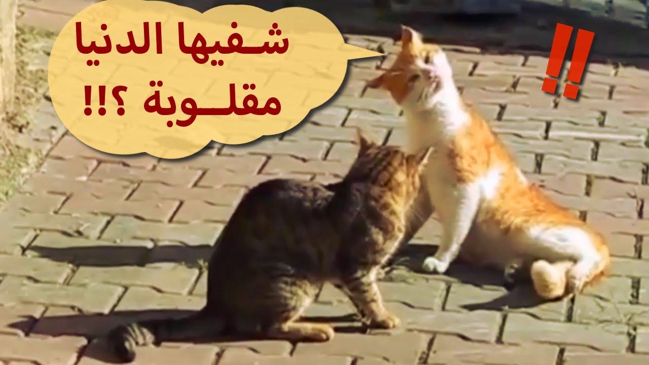 عندما تحشش القطط !!