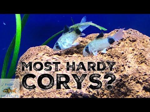 THE MOST HARDY CORYDORAS