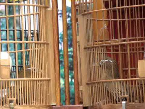 chim mi chien tp tuyen quang 1-1-2013 p5
