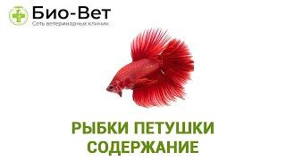 Рыбки Петушки Содержание & Уход За Петушками В Мини-Аквариуме. Ветклиника Био-Вет