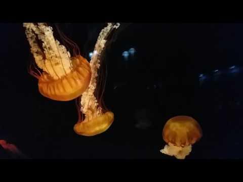 chrysaora fuscescens水母jellyfish