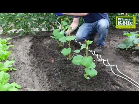 Gurken Einpflanzen Im Gemusebeet Pflanzen Kolle Youtube