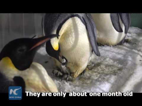 Over 10,000 km away from home! Two emperor penguin chicks born in South China