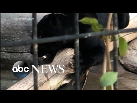 CRob - Jaguar Attacks Woman Who Climbed Arizona Zoo Barrier for a Selfie