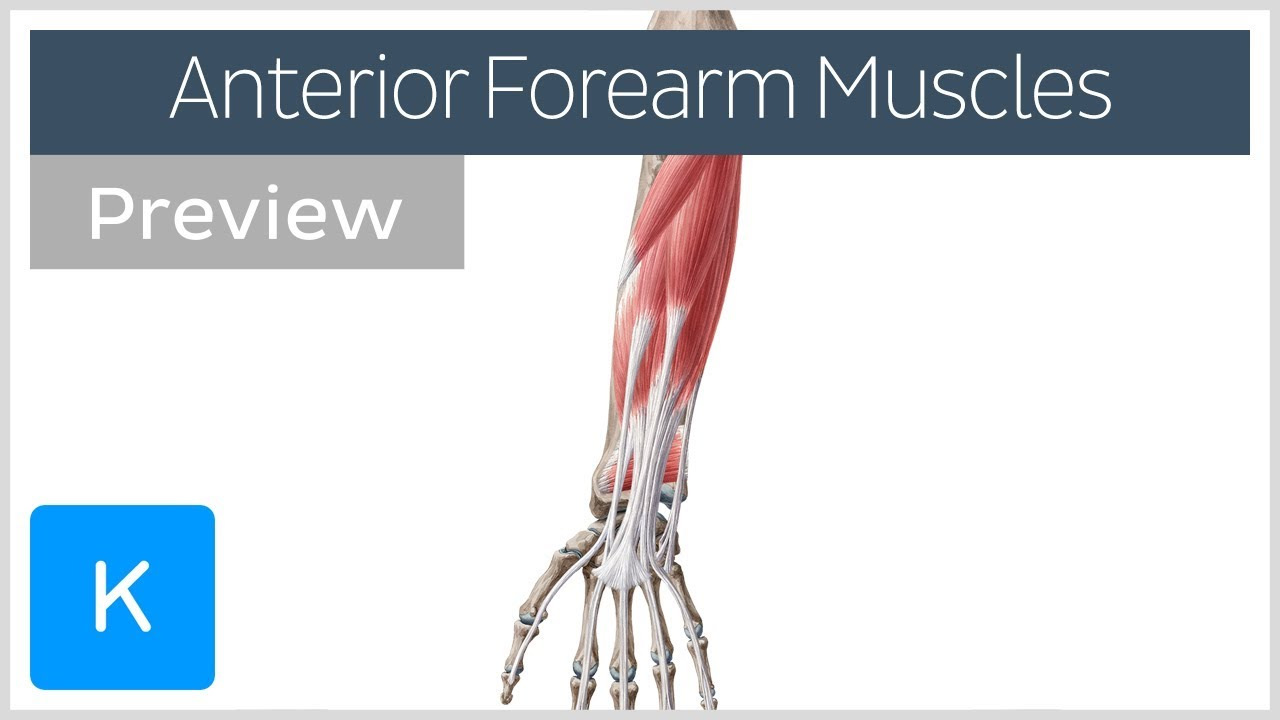 Muscles Of The Anterior Compartment Of The Forearm Preview Human