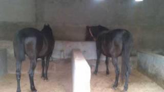 horse in punjab (sidhu & curry farm ) call 9876991447