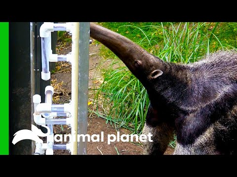 Giant Anteater Gets New Transparent Feeding Tubes To Showcase Her Tongue Skills   The Zoo